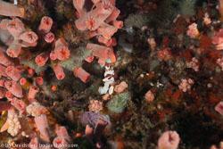 BD-141023-Nusa-Penida-6029-Antennarius-pictus-(Shaw.-1794)-[Painted-frogfish].jpg